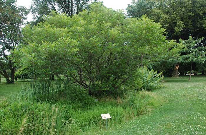 Bois d'enfer (Toxicodendron vernix) à maturité en Nouvelle-Angleterre. Copyright Chris Kreussling sur Flicker.