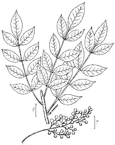 Illustratioon du feuillage du bois d'enfer (Toxicodendron vernix).