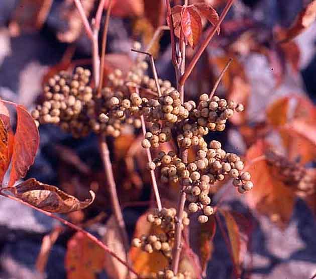 Fruits de l'herbe à la puce rampante (T. rydbergii) à l'automne. Remarquez le feuillage rouge. Copyright http://weedscanada.ca/cashew.html