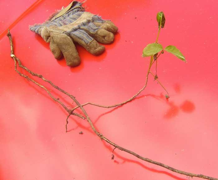 Le système racinaire de l'herbe à la puce rampante peut facilement être arraché dans un sol mouillé.
