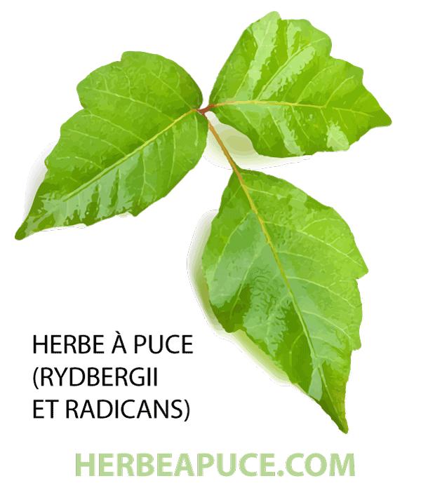 Feuilles de l'herbe à puce (Toxicodendron radicans et rydbergii)
