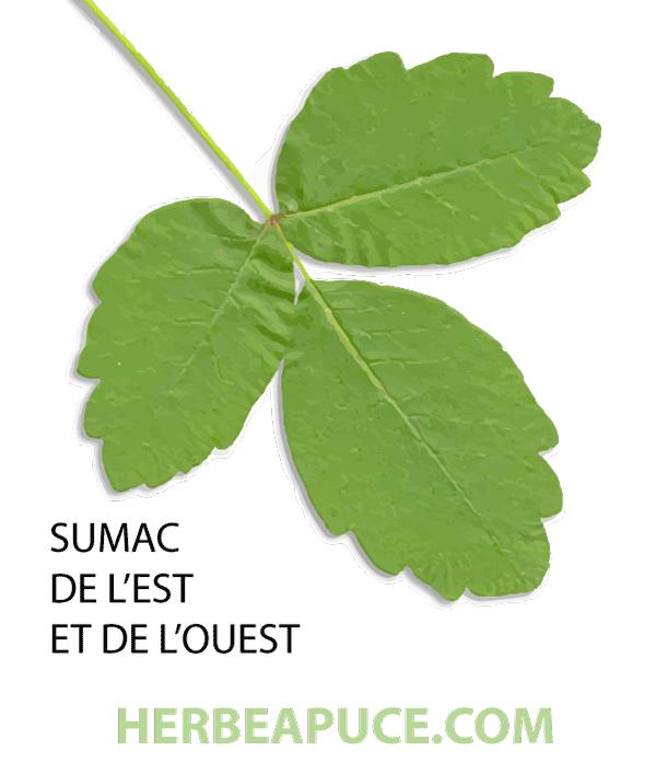 Feuilles du sumac de l'est et de l'ouest (Toxicodendron diversilobum et pubescens
