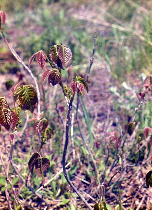 Tige de l'herbe à la puce rampante (T. rydbergii) au printemps. Copyright http://weedscanada.ca/cashew.html