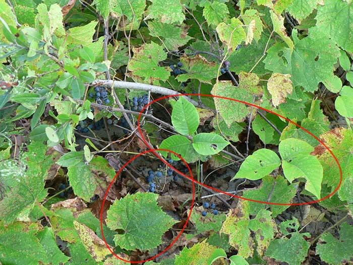 Vigne sauvage avec ses grandes feuilles dentelées. Elle côtoie un plant d'herbe à puce bien reconnaissable. Photo de circonstance!